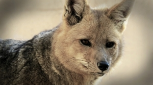 fox-850595_640